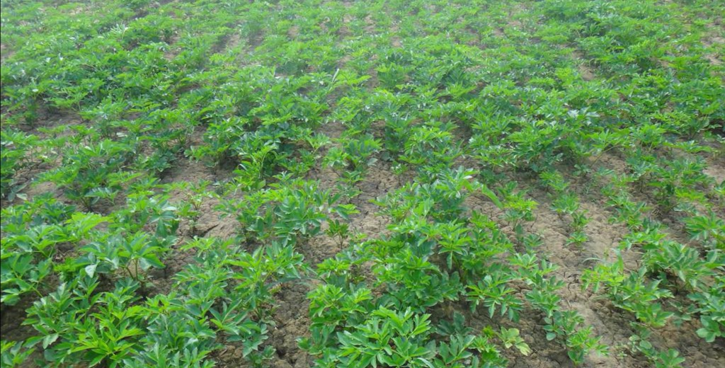 白芷苗后专用除草剂杀虫剂