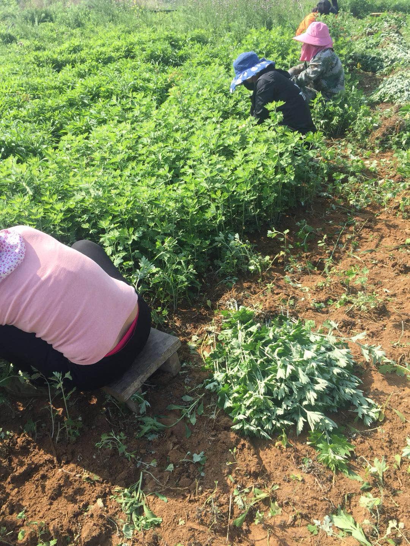 种植艾草一亩地投资多少钱
