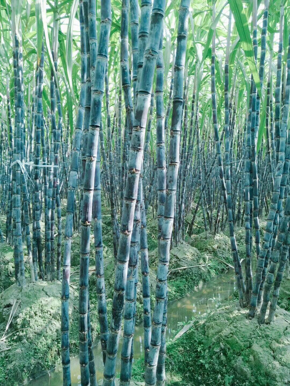 甘蔗种子_适合北方生长品种