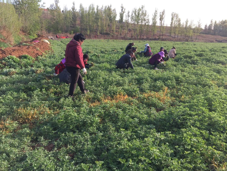 艾草种植技术